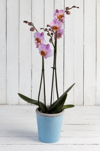 Fabulous Pink Orchid Plant
