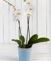 Fabulous White Orchid